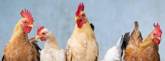 Hvor mange kalorier er det i kyllingfilet?