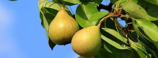 Hvilket næringsinnhold har pære?