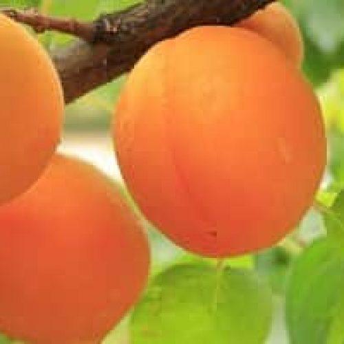 Aprikos – Smakfull næringsbombe