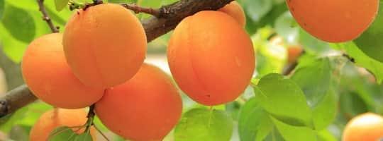 Aprikos - Smakfull næringsbombe